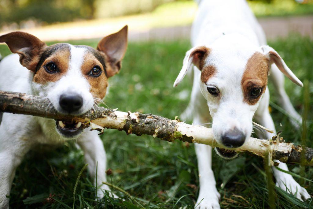 Ėdalo įtaka šunų išvaizdai